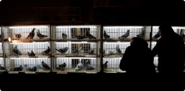 Pombos à venda em leilão
